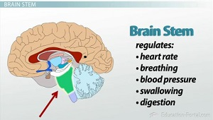 Brain Structures and Functions Part I  Video & Lesson Transcript | Study