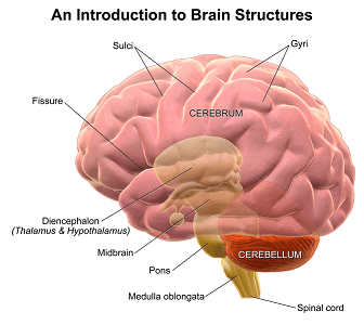 Corticospinal Tract: Function & Anatomy | Study.com
