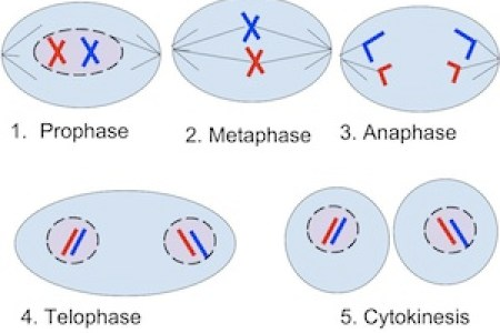 What are the stages of mitosis 4k pictures 4k pictures full hq genetics mitosis and meiosis mitosis and meiosis comparison bbc gcse bitesize mitosis diagram of the stages of mitosis the stages of mitosis science trends ccuart Gallery