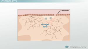 osteoblasts diagram - Tejido óseo Función y Histología