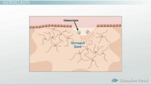 osteoclasts diagram - Tejido óseo Función y Histología