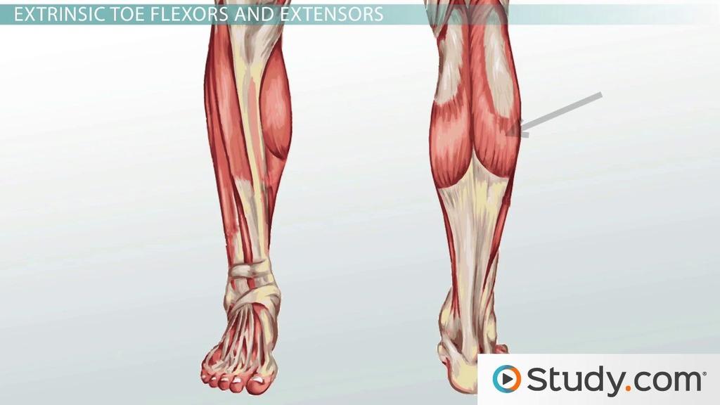 Leg Muscles: Anatomy, Support & Movement
