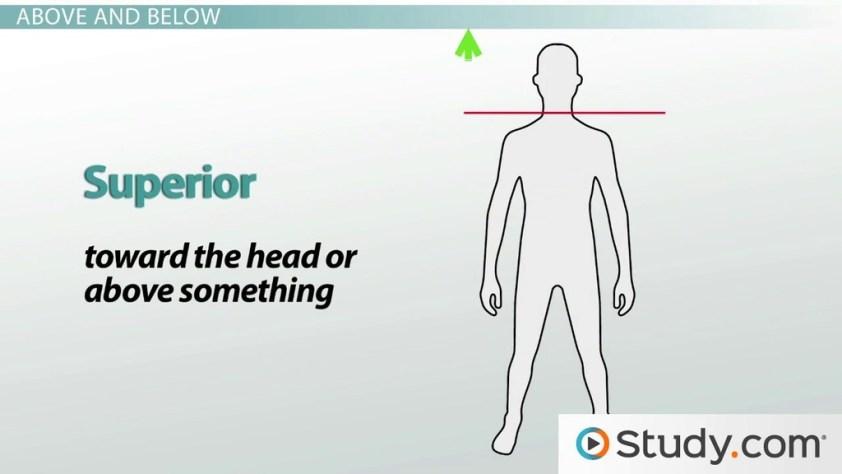 Anatomical Directional Terminology: Anterior, Posterior ...