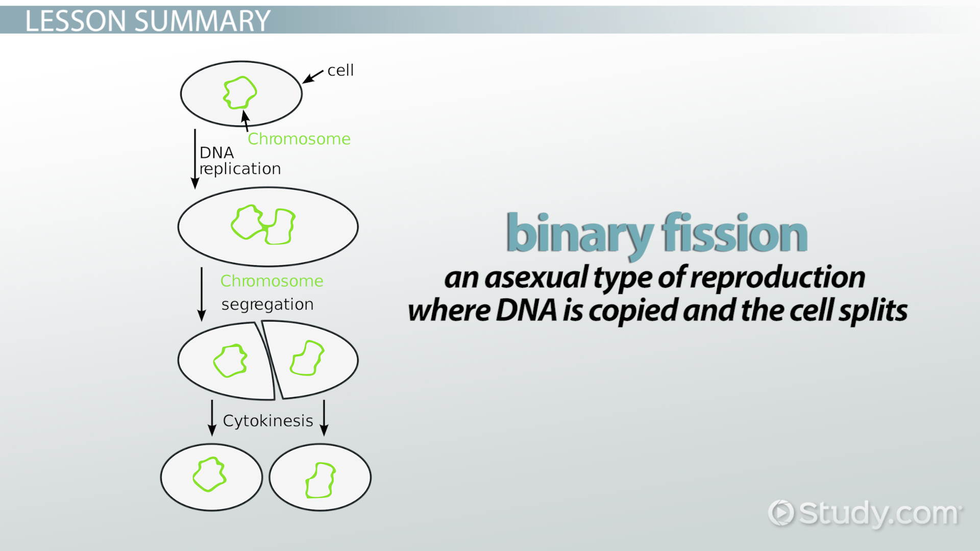 Binary Fission Definition Steps Amp Examples