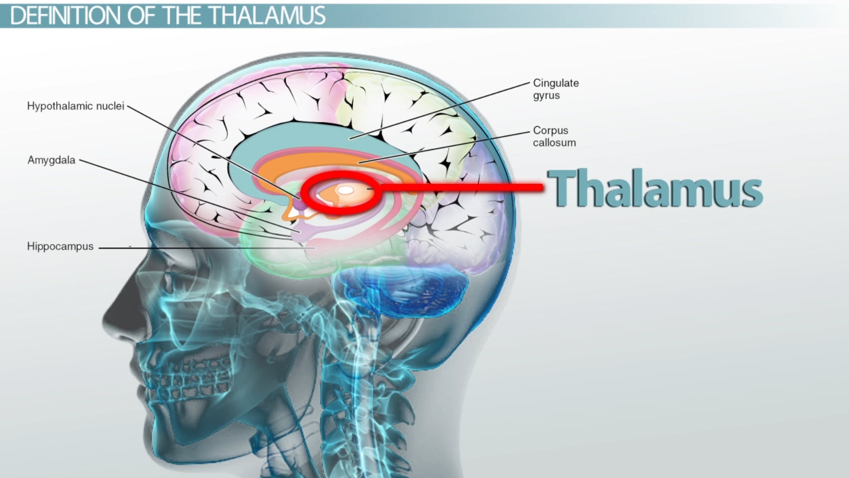 thalamus definition functions amp location video amp lesson transcript