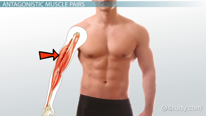 Agonist Muscle Definition Amp Example