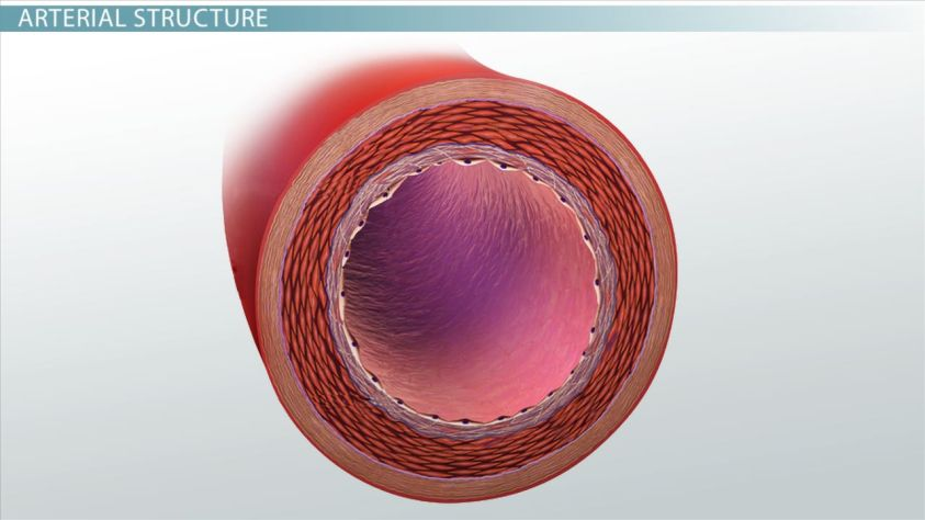 What are Arteries? - Function & Definition - Video ...