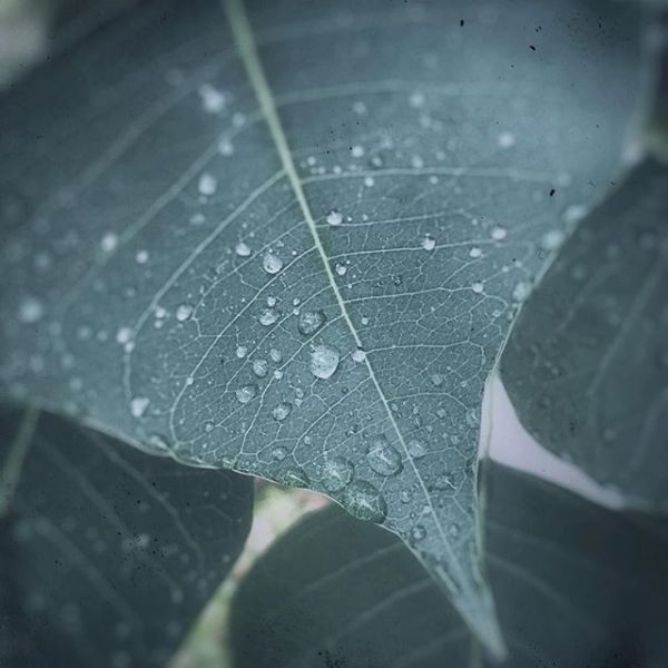 a leaf after the rain.#iphone7plus #snapseed #leaf