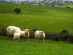 new_zealand_sheep