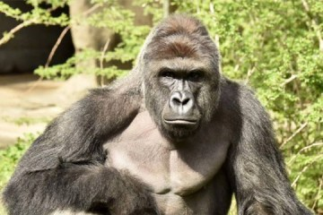 Gorilla Warfare: An Opinion About Other Peoples' About Harambe