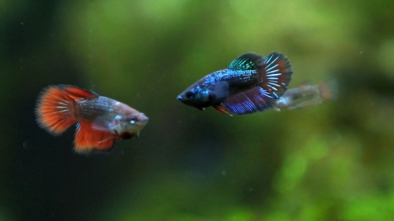 The Pros and Cons of Owning a Betta Fish in College