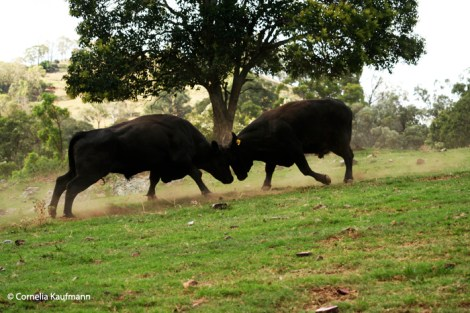 Two steers fight. Copyright Cornelia Kaufmann