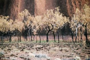 Burnt trees in frnt of Uluru. A bush fire had swept past Uluru earlier that season. Copyright Cornelia Kaufmann