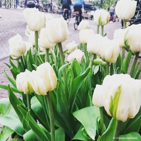 White Tulips at the Tulip Museum. ©Cornelia Kaufmann