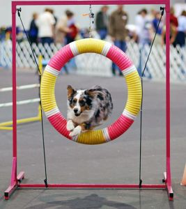 Australian shepherd dogs love agility
