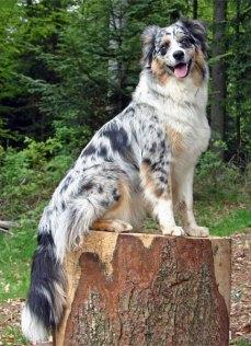Well groomed Australian shepherd dog