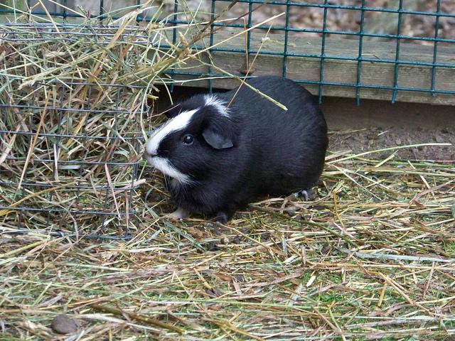Guinea pig hay provides fiber