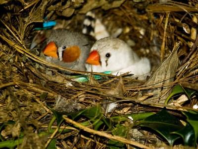 Breeding Finches