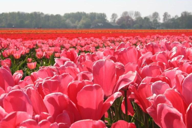 Dutch spring tulips