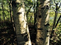 I don't know why I love Birch so :)
