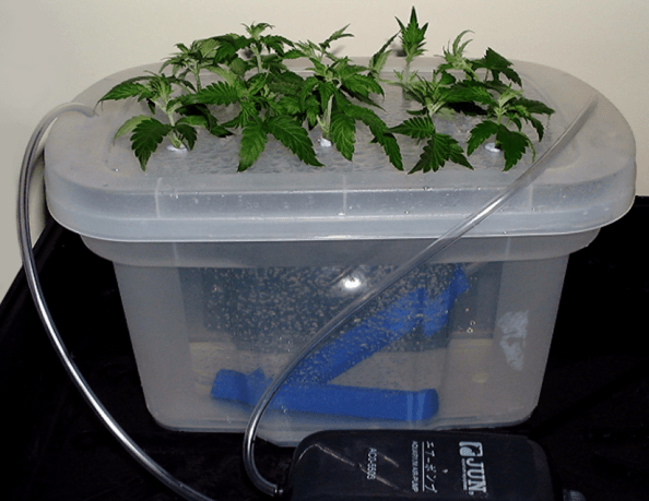 How to clone marijuana