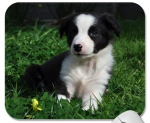 Border Collie Puppy Mousepad