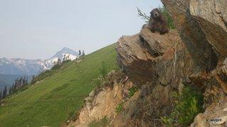 Hello Mr. Marmot