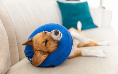 The Importance of Spaying/Neutering Your Corgi