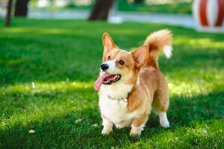Are Corgis Born With Tails