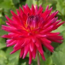 Dahlia_Mini Red (Miniture Cactus)