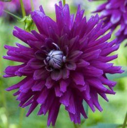 Dahlia_Purple gem (cactus)