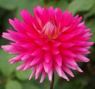 7. 3078-cerise-prefect (Medum Semi-cactus)