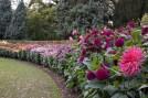 Dalhia Garden