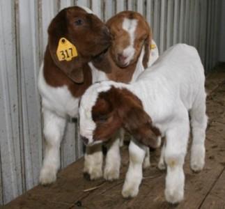 Tripletts from bearcreekboers.com