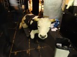 """The cow from Christian Spuck's """"Le Grand Pas de Deux"""" is waiting backtstage for her big moment tonight."""