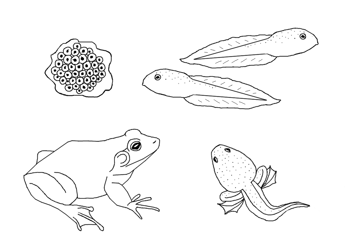 Chicken Life Cycle Coloring Page