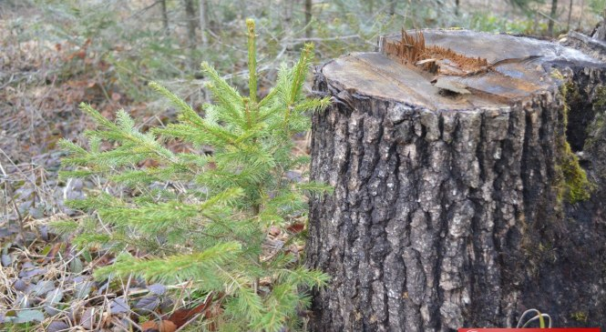 Суцільні санітарні вирубки лісів на Прикарпатті цього року зведуть до мінімуму (відео)