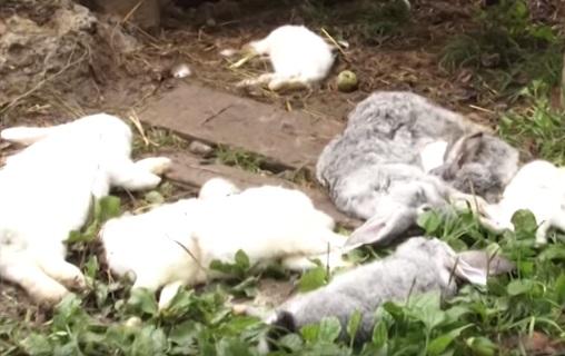 У Галичі невідома чупакабра вбиває кролів (ВІДЕО)
