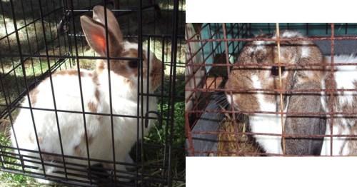 Ag-bunnies