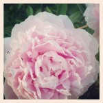 Sunday Bouquet: Pink Peony from the Garden