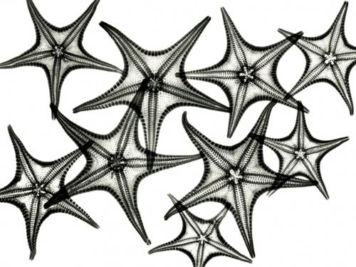 albert-koetsier-xray-photo-starfish