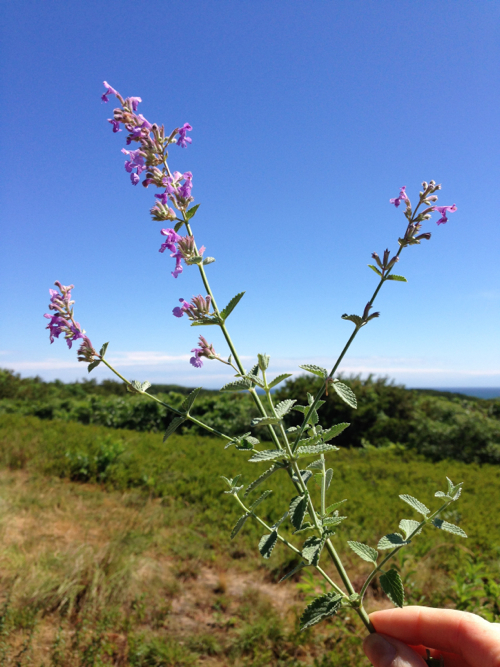 Russian Sage Against Outer Cape Dunes By StyleCarrot