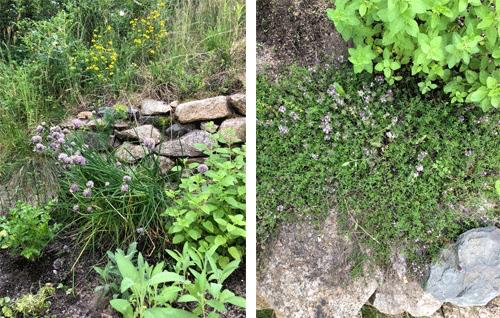 Herbs Growing In My Garden In Cape Cod