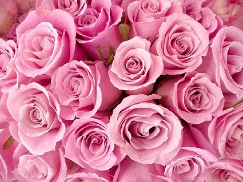 pink_roses_background_picture_166705