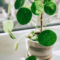 Pilea Peperomioides: How to Care For & Propagate Your Pilea