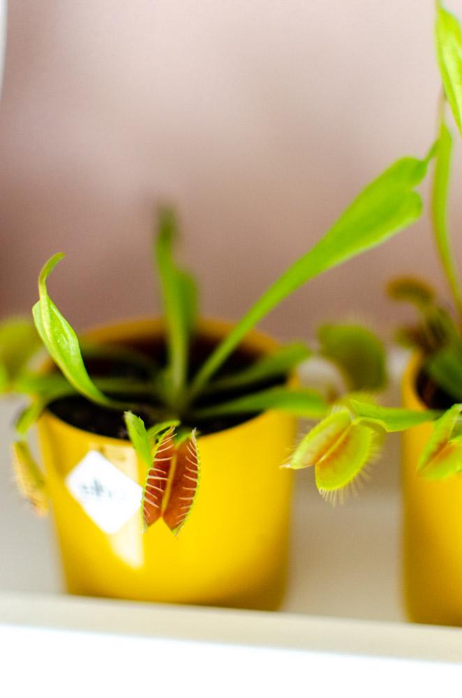 vleesetende plantjes tegen muggen