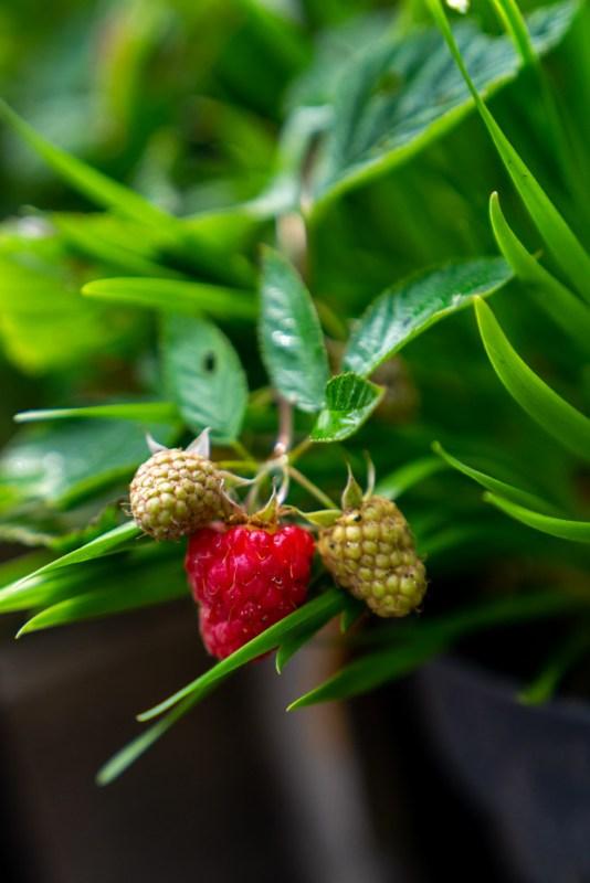 fruit kweken in een kleine tuin