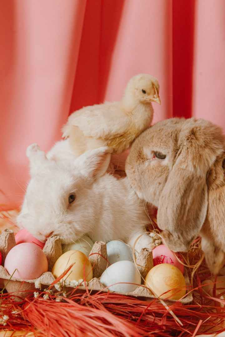 easter bunny and eggs with pink background