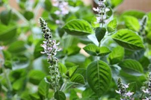 holy basil uses and benefits