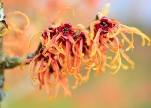 Witch-hazel-remedies-to-get-rid-of-pimples